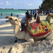 Camel at Nyali beach